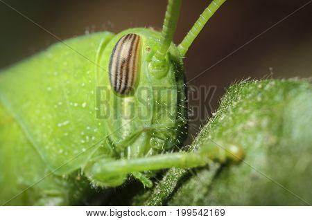 Closeup of grasshopper eye on a leaf