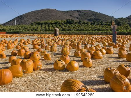 Orange pumpkins in a pumpkin patch with scarecrow