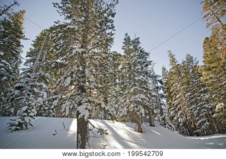 Backlit winter trees in Mammoth Mountain CA