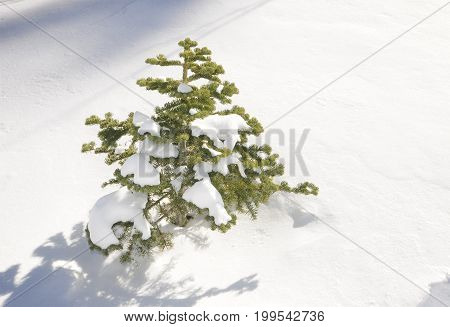 Pine tree buried under snow in California.