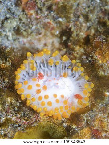 Triopha catalinae (Catalina triopha) (aka clown nudibranch) off Anacapa Island CA poster