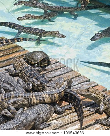 Lone turtle amongst congregation of alligators in and out of the water