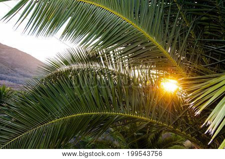 Palm tree branches backlit by setting sun