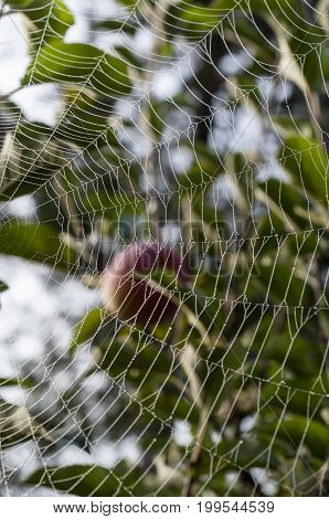 Spider's web hanging from trees with morning dew drops