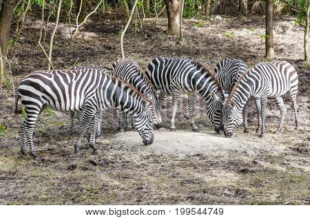 group of captive Grant's zebra (Equus quagga boehmi) feeding in zoo habitat