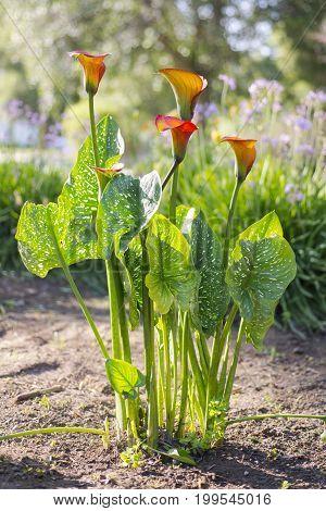 Orange Calla Lilys (Zantedschia) in front yard landscaping