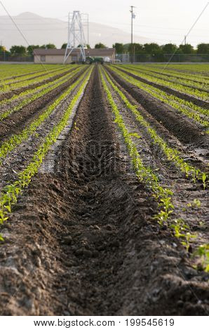 Rows of seedlings farmland with tractor in the distance