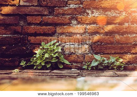 Tree growing through crack of red wall make from vintage brick in temple ancient Thai style Ayutthaya Thailand .Vintage photo effect.