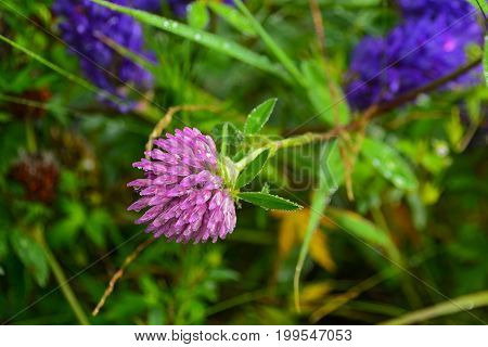 Close-up of Red Clover with dew drops. Floral background-clover in drops of dew