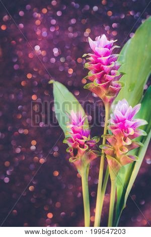 Pink flower of Pink Siam Tulip or Curcuma sessilis flower in vase with light Pink bokeh background. It is a flower with a beautiful pink color to blossom when it enters the rainy season in Thailand.