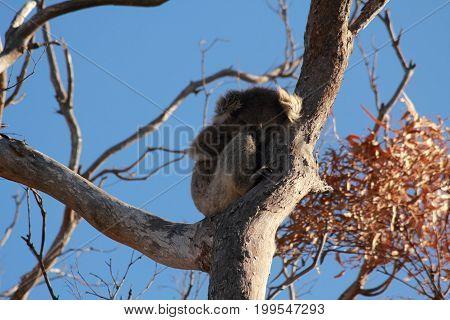 koala on gumtree, Raymond Island, Lake Entrance