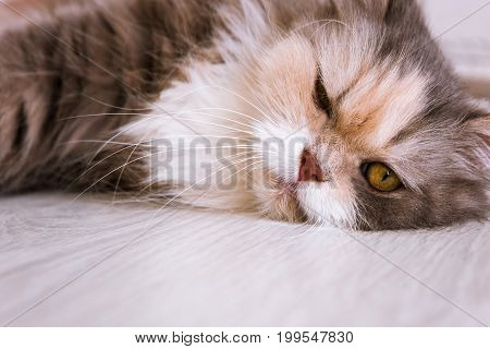 Fluffy lazy cat laying on wooden floor and looking with squinty eyes. Family pet with white breast and long whiskers, close up portrait