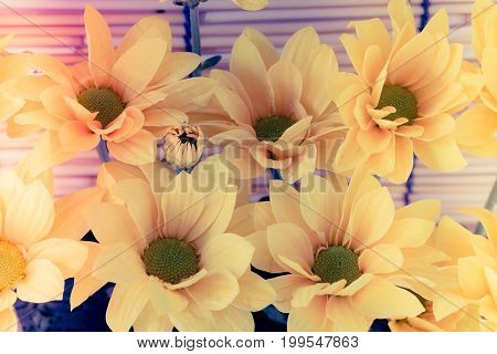 Vintage Image Style And Selective Focus On Yellow Flawer Of Beautiful Chrysanthemum With Water Drop