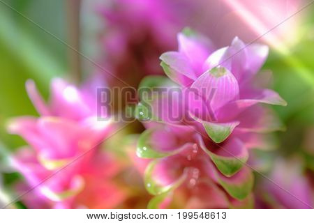 Clos-up Pink Flower Of Pink Siam Tulip Or Curcuma Sessilis Flower It Is A Flower With A Beautiful Pi