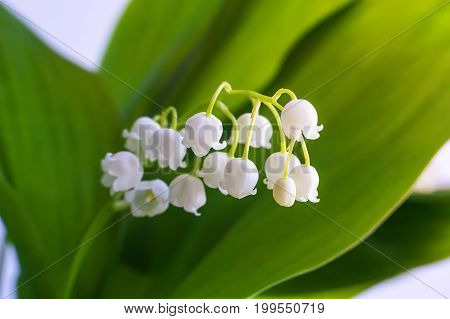 Blossoming lily of the valley. Lily-of-the-valley. Convallaria majalis.Spring background. Flower of lily of the valley on a blue background