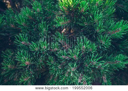 Background from green Fir tree branch. Fluffy young branch Fir tree with raindrops, close up