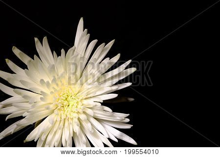Top View On Magnificent White Chrysanthemum On A Black Background. Copy Space Texture Background