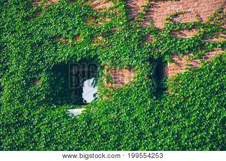 Old window surrounded by creeping ivy plants , one window