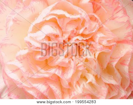 Top View And Close Up Image On Pink Carnation On Black Background