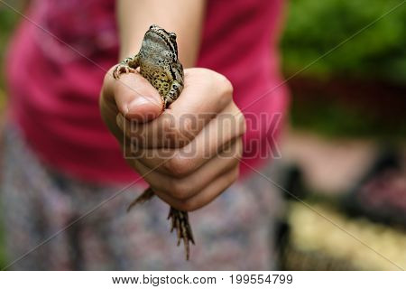 The common frog Rana temporaria sits in a fist and looks proudly upwards
