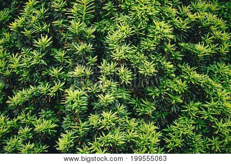 needles bushes close up concept background nature
