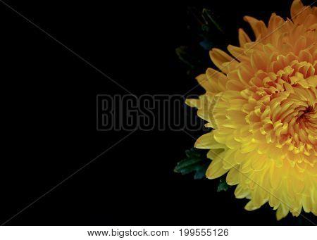 Top View And Macro Image Of Beautiful Fresh Yellow Chrysanthemum On Black Background