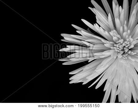 Chrysanthemum On Black Background, Black And White Color. Copy Space Texture Background