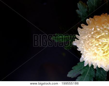 Top View On White Chrysanthemum Isolated On Black Background. Copy Space Texture Background