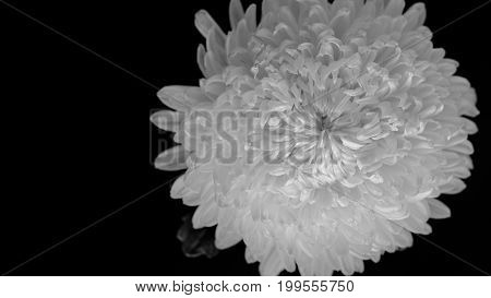 Chrysanthemum On Black Background, Black And White Color