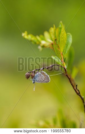 A Beautiful Blue Spotted Butterfly Sitting On A Branch Of Heather In A Morning Dew With Water Drople