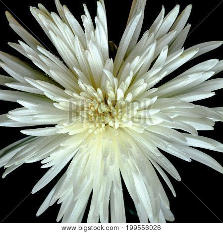 Top View On Magnificent White Chrysanthemum On A Black Background