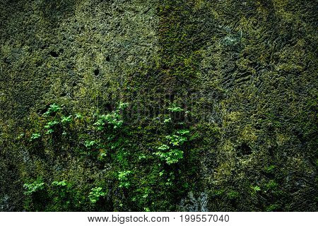 Old brick wall with moss growing texture of old stone wall covered green moss.