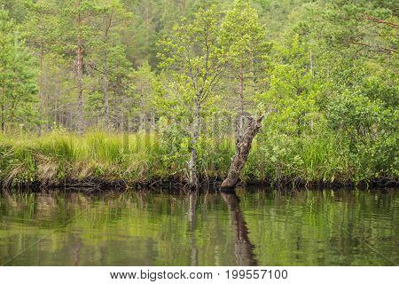 A beautiful swamp landscape near the lake in morning light. Marsh scenery in Northern europe. Grass marsh.
