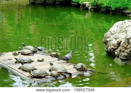 The Turtles Sunbathing In The Pond Of  Of  Wat Prayoon Wongsawat Worawihan, Bangkok, Thailand
