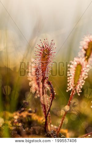A beautiful closeup of a great sundew leaves in a morning light. Carnivorous plant in marsh. A vibrant macro photo.