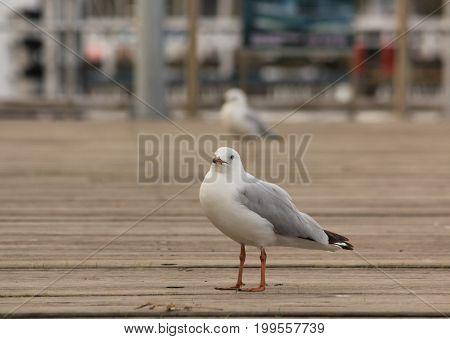 seagulls at the wooden jetty, Lake Entrance, Australia