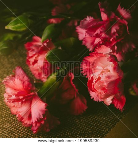 Beautiful Bright Pink Carnation Petals On Dark Background. Vintge Image Style