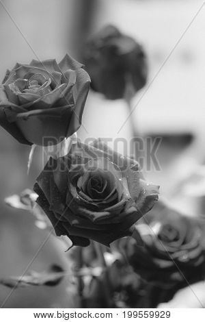 Black And White Image Style On Resd Rose , Forever Love Concept