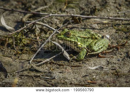 A green swamp toad sits on a sandy beach