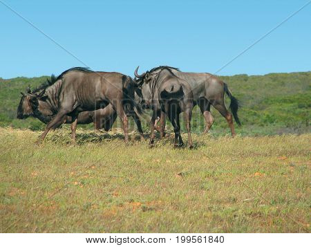 BLUE  WILDEBEEST RUNNING IN THE VELD,THE BLUE WILDEBEEST IS A HERBIVORE, FEEDING ON THE SHORT GRASSES AND IS NATIVE TO SOUTHERN AFRICA