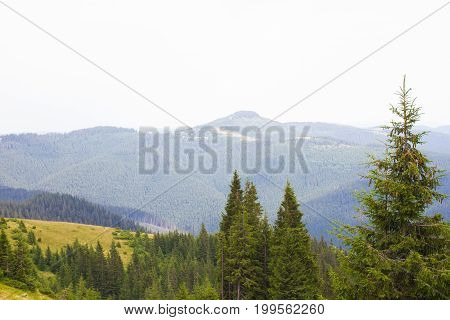 Spruce forest in the Ukrainian Carpathians. Sustainable clear ecosystem. Many peaks