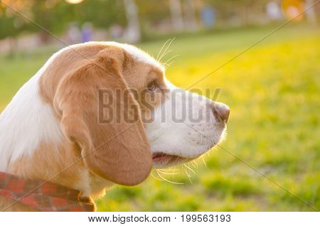 Dreamy thoughtful beagle puppy in the rays of sun light (selective focus on the puppy eyes)