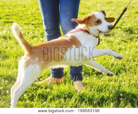 Funny happy cute beagle puppy jumping next to its owner
