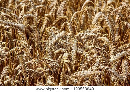 Wheat field. Ears of golden wheat close up. Beautiful Nature Sunset Landscape. Rural Scenery under Shining Sunlight. Background of ripening ears of meadow wheat field. Rich harvest. Golden wheat field