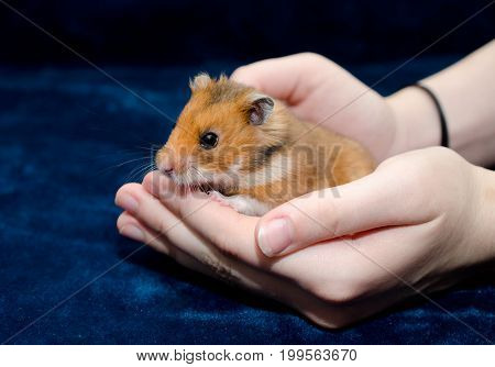 Cute tiny Syrian hamster hiding in human hands (against the dark blue background)