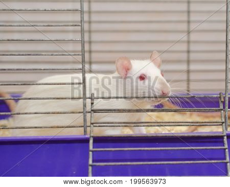 Curious white laboratory rat looking out of a cage shallow DOF with selective focus on the rat eyes