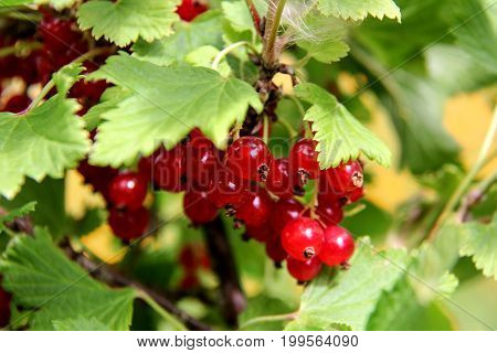 redcurrant texture background branch bush summer day