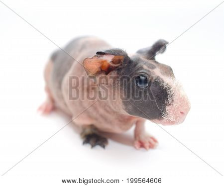 Cute skinny guinea pig baby with big ears isolated on white (shallow DOF selective focus on the guinea pig eye)