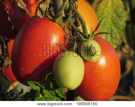 Southern green stink bug Nezara Viridula - Linnaeus on tomato plant in the garden . Tuscany Italy