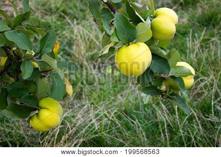 Quince. Branches with fruits of quince. Selectiv focus.